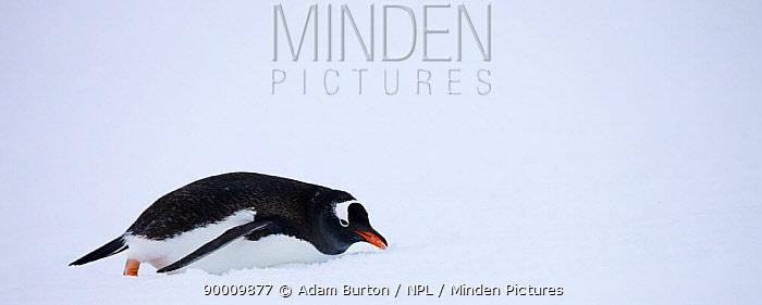 Gentoo Penguin (Pygoscelis papua) sliding on snow, Petermann Island, Antarctic Peninsula, Antarctica  -  Adam Burton/ npl