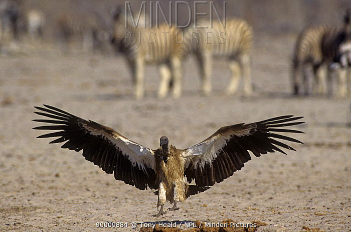 White-backed Vulture (Gyps africanus) landing Etosha National Park, Namibia  -  Tony Heald/ npl