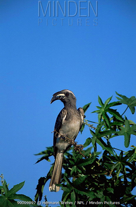 African grey hornbill (Tockus nasutus) Botwsana  -  Hermann Brehm/ npl
