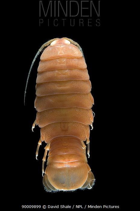 Woodlouse (Isopoda), deep sea Atlantic ocean  -  David Shale/ npl