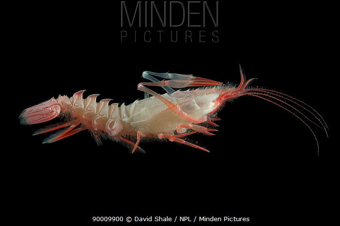 Deepsea shrimp (Polycheles sp) Benthic decapod crustacean, deep sea Atlantic ocean  -  David Shale/ npl
