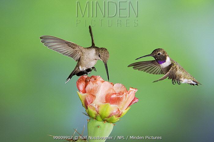 Black-chinned Hummingbird (Archilochus alexandri) Hill Country, Texas  -  Rolf Nussbaumer/ npl