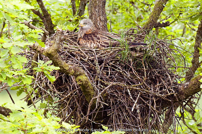 Red Kite (Milvus milvus) incubating eggs on nest, Wales, United Kingdom  -  Andy Sands/ npl