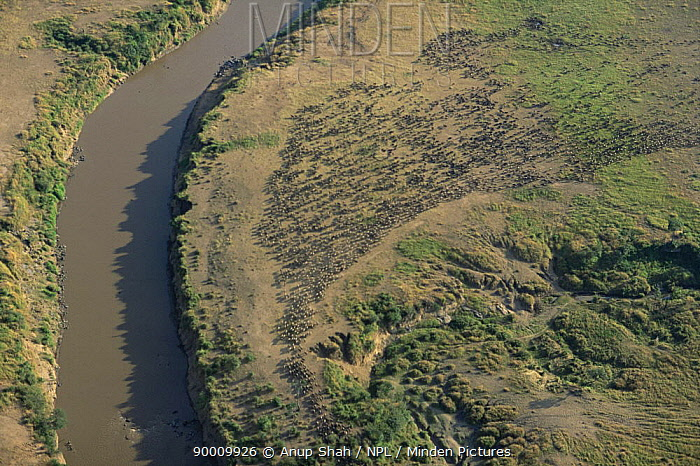 Aerial view of Wildebeest herd massing along the banks of the River Mara, Masai mara, Kenya  -  Anup Shah/ npl