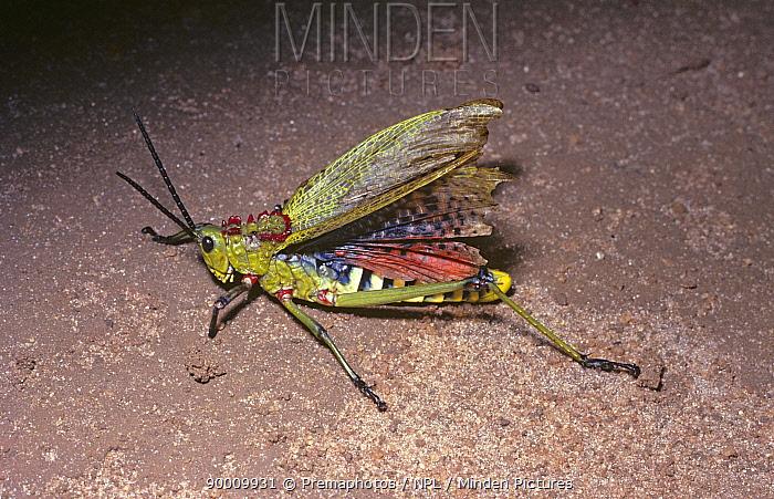 Green Milkweed Locust (Phymateus viridipes) male flashing his warningly coloured black-and-red wings, in savannah, Kenya  -  Premaphotos/ npl