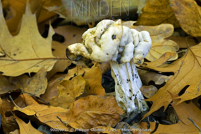 Common White Helvella (Helvella crispa) amongst leaf litter, Belgium  -  Philippe Clement/ npl