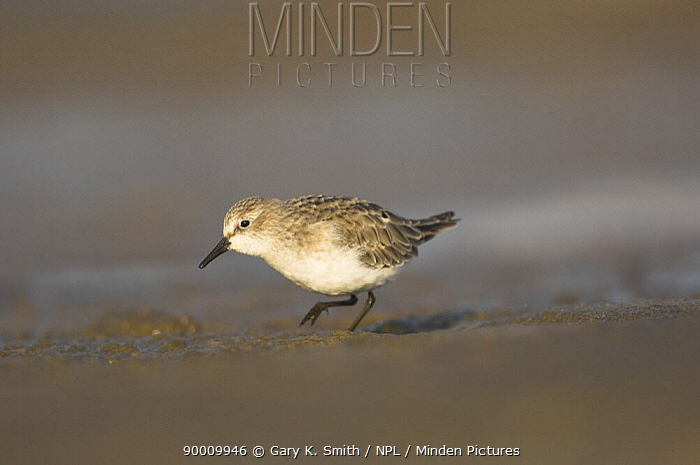 Little Stint (Calidris minuta) juvenile in coastal pool Norfolk, England, United Kingdom  -  Gary K. Smith/ npl