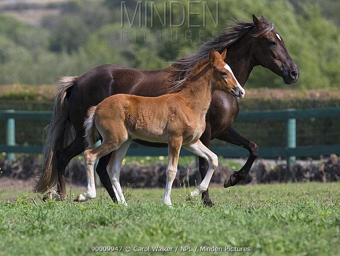 Peruvian Paso mare and foal trotting in field, Ojai, California, USA  -  Carol Walker/ npl