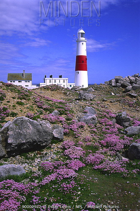Portland Bill Lighthouse with Sea Thrift, May, Dorset, UK  -  Peter Lewis/ npl
