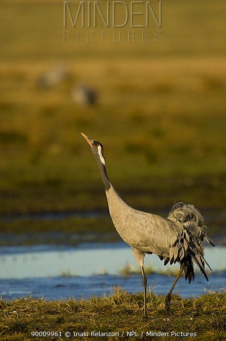 Common Crane (Grus grus) displaying, Lake Hornborgasj�n, Sweden  -  Inaki Relanzon/ npl