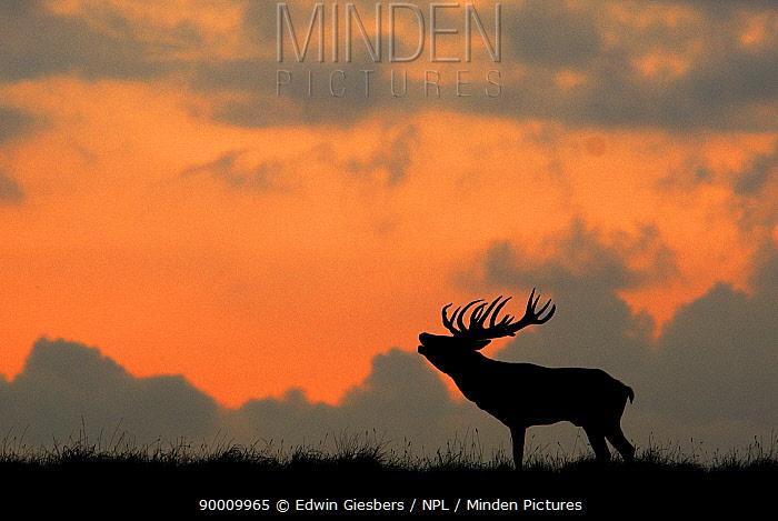 Red deer (Cervus elaphus) silhoutted stag calling, Dyrehaven, Denmark  -  Edwin Giesbers/ npl