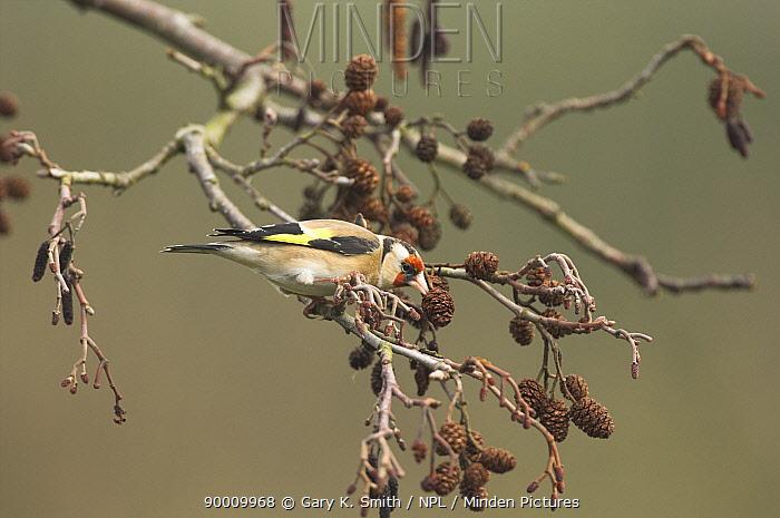 European Goldfinch (Carduelis carduelis) feeding on Alder cones, Norfolk, United Kingdom  -  Gary K. Smith/ npl