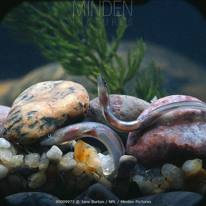 European Eel (Anguilla anguilla) young on riverbed, United Kingdom  -  Jane Burton/ npl