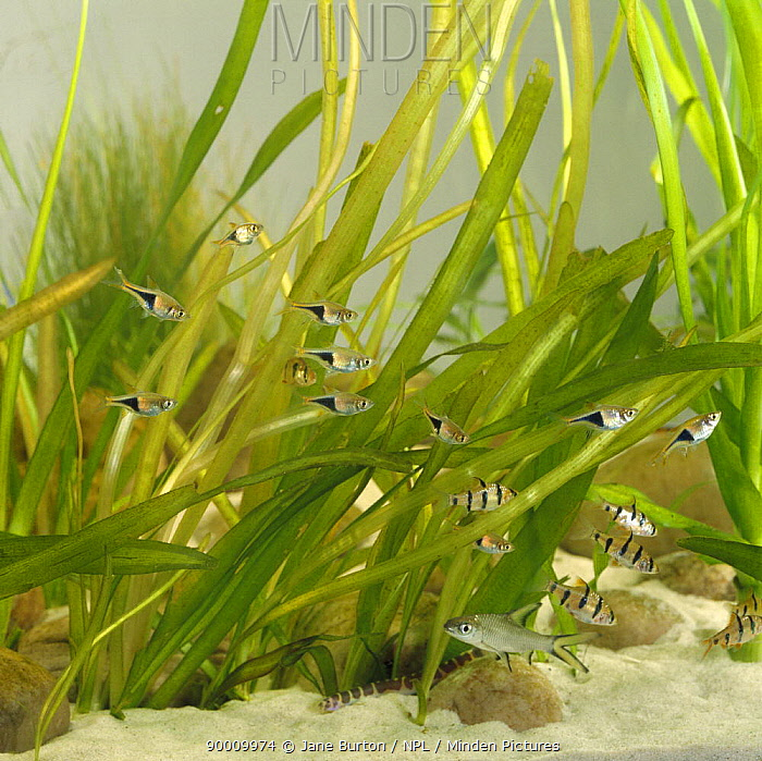 Harlequin rasbora (Trigonostigma heteromorpha), Five banded barbs, Silver shark and Coolie loach in fish tank amongst Giant vallis leaves, captive, from SE Asia  -  Jane Burton/ npl