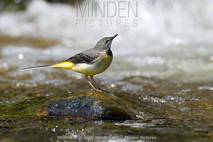 Grey Wagtail (Motacilla cinerea) female on rock in fast flowing upland stream, Upper Teesdale, Co Durham, England United Kingdom  -  Andy Sands/ npl