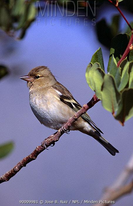 Chaffinch (Fringilla coelebs) female, Spain  -  Jose B. Ruiz/ npl