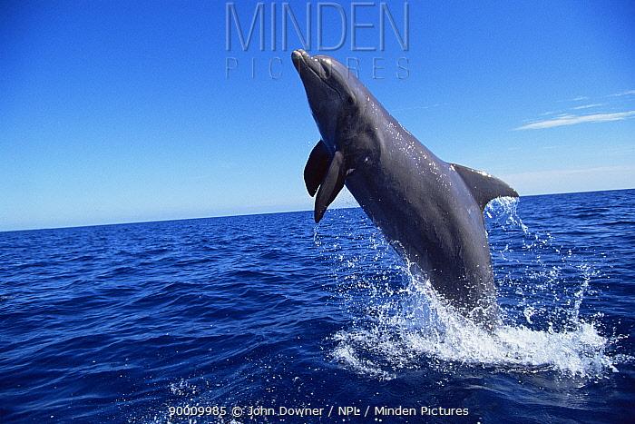 Bottlenose Dolphin (Tursiops truncatus) pair Bahamas  -  John Downer/ npl