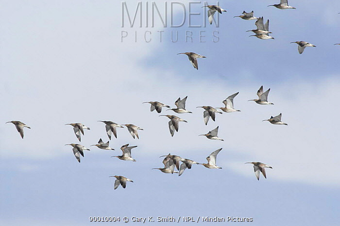 Eurasian Curlew (Numenius arquata) flock in flight, Norfolk, United Kingdom  -  Gary K. Smith/ npl
