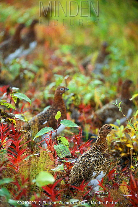 Willow Ptarmigan (Lagopus lagopus) foraging in the rain among leaves on the tundra, Denali National Park, Alaska  -  Philippe Clement/ npl