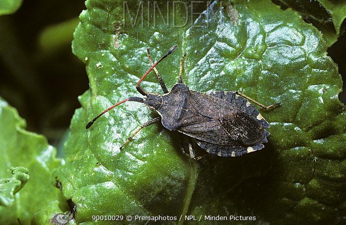 Boat-backed bug (Enoplops scapha) on Sea beet leaf on the coast, UK  -  Premaphotos/ npl