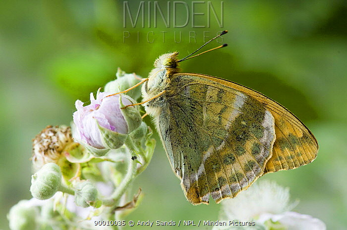 Silver-washed Fritillary (Argynnis paphia) On bramble flower with wings closed United Kingdom  -  Andy Sands/ npl