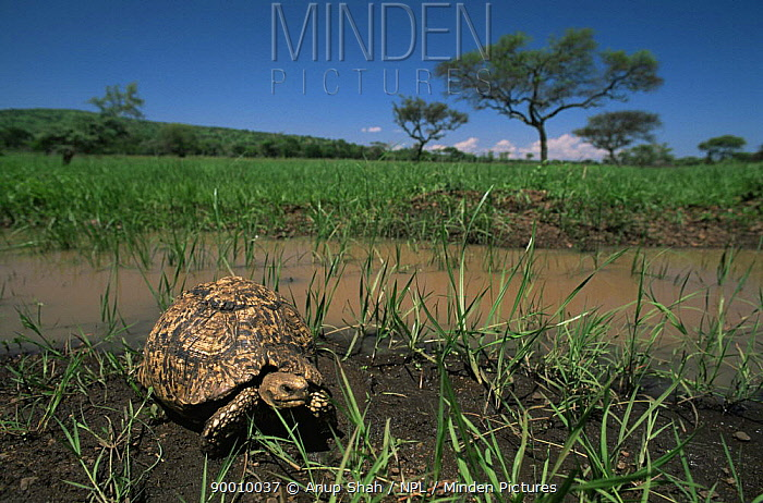 Leopard Tortoise (Geochelone pardalis) Serengeti National Park, Tanzania  -  Anup Shah/ npl