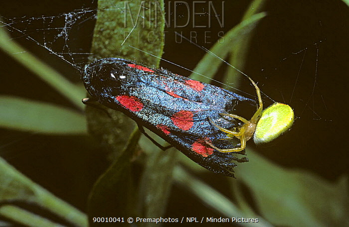 Cucumber Spider (Araniella cucurbitina) female feeding on a poisonous Narrow-bordered 5-spot burnet moth (Zygaena lonicerae) caught in its web, United Kingdom  -  Premaphotos/ npl