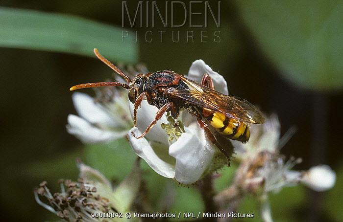 Yellow nomad bee (Nomada flava) a cuckoo bee, on Bramble flower, UK  -  Premaphotos/ npl