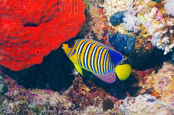 Royal Angelfish (Pygoplites diacanthus) feeding on sponge Red Sea, Egypt  -  Georgette Douwma/ npl