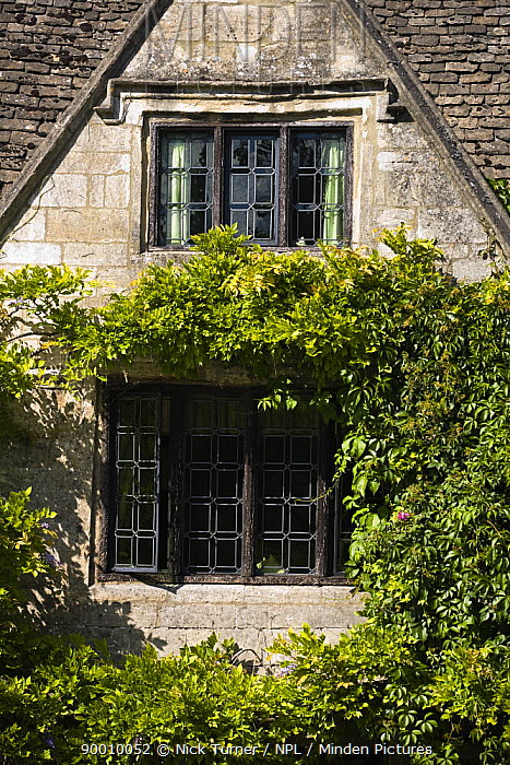 Wisteria growing around gabled Cotswold stone building with leaded glass windows and stone mullions, Burford, Oxfordshire, UK  -  Nick Turner/ npl