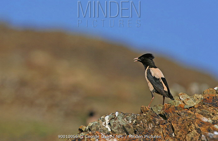 Rosy Starling (Sturnus roseus) perched on a rock, Xinjiang Province, north-west China  -  George Chan/ npl