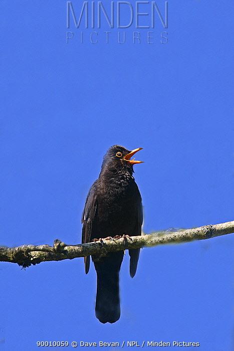 Eurasian Blackbird (Turdus merula) male perched singing, Wales, United Kingdom  -  Dave Bevan/ npl