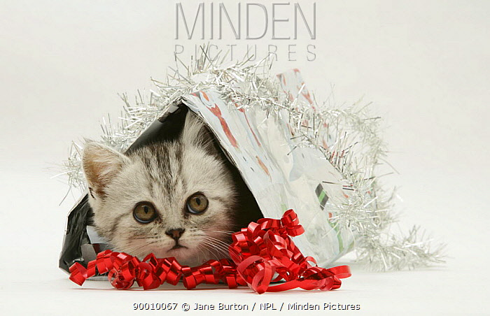 Domestic Cat (Felis catus)Silver tabby kitten coming out of a Christmas parcel  -  Jane Burton/ npl