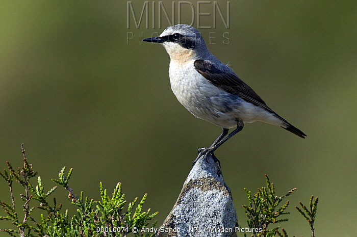 Northern Wheatear (Oenanthe oenanthe) male perched on rock, Upper Teesdale, Co Durham, England United Kingdom  -  Andy Sands/ npl