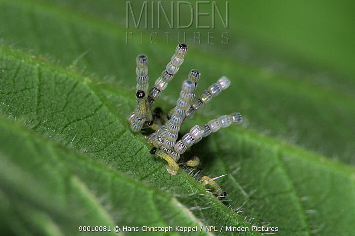 Map Butterfly (Araschnia levana) eggs and hatching larvae on nettle leaf, Sequence, life cycle  -  Hans Christoph Kappel/ npl
