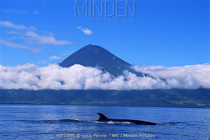 Sei whale (Balaenoptera borealis) breaking the surface Atlantic  -  Doug Perrine/ npl