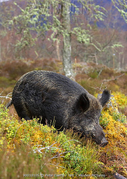 Wild Boar (Sus scrofa) foraging in native pine woodland, as part of forest regeneration project, Glen Affric, Scotland United Kingdom  -  Pete Cairns/ npl