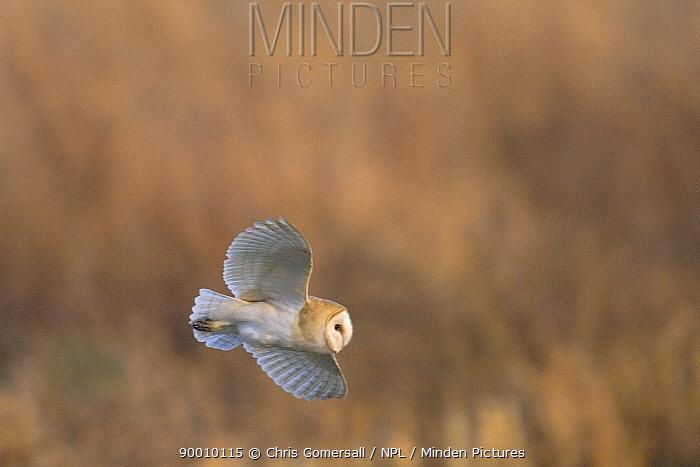 Barn Owl (Tyto alba) adult hunting at dusk, Norfolk, United Kingdom  -  Chris Gomersall/ npl