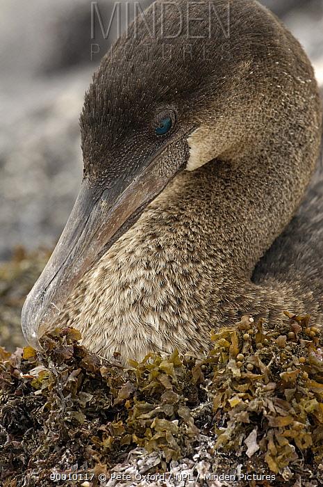 Flightless cormorant (Phalacrocorax, Nannopterum harrisi) portrait on nest, Fernandina Is, Galapagos  -  Pete Oxford/ npl