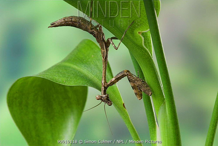 Tanzanian bush mantis (Polyspilota sp) Captive  -  Simon Colmer/ npl