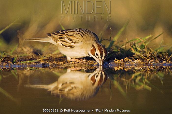 Lark Sparrow (Chondestes grammacus) adult drinking, Hill Country, Texas  -  Rolf Nussbaumer/ npl