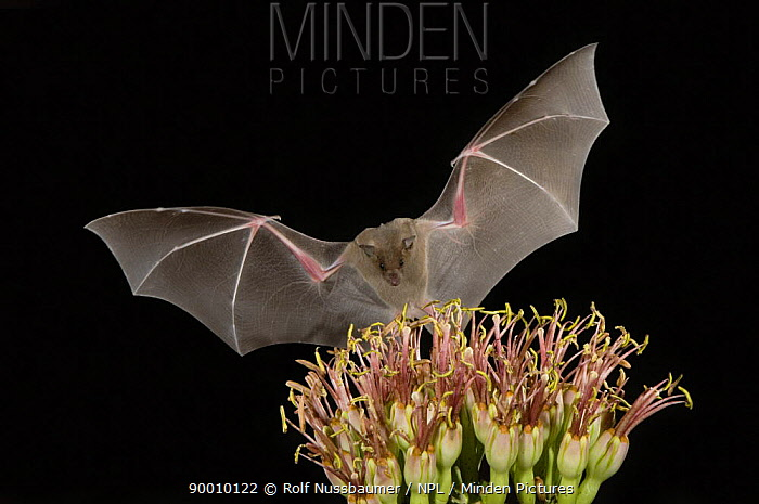 Southern Long-nosed Bat (Leptonycteris curasoae)flying at night to feed on Agave flower (Agave sp) Tuscon, Arizona  -  Rolf Nussbaumer/ npl