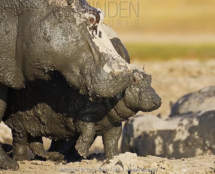 Hippopotamus (Hippopotamus amphibius) mud covered mother and baby, Chobe National Park, Botswana  -  Tony Heald/ npl