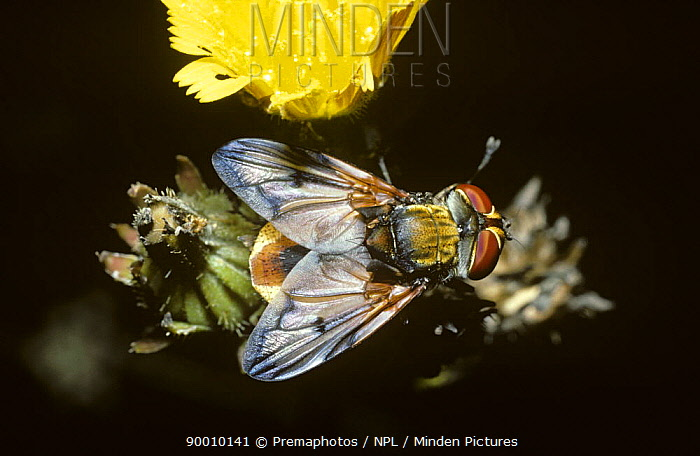 Parasite fly (Phasia hemiptera) in woodland, UK  -  Premaphotos/ npl