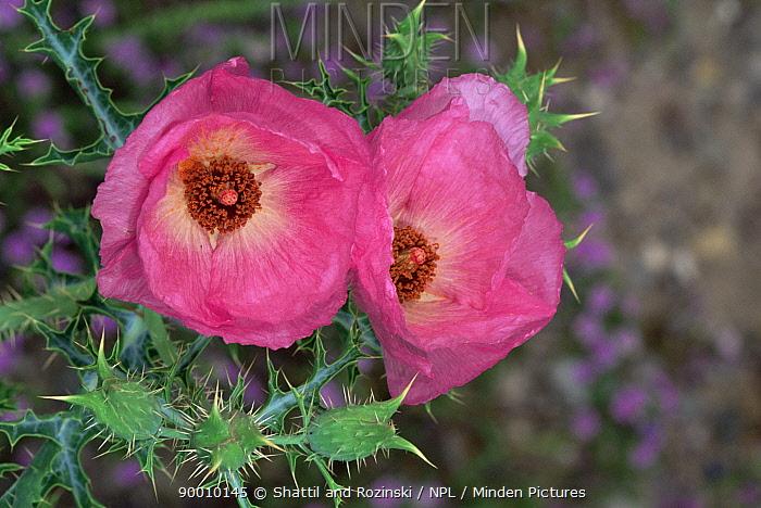 Chisos prickly poppy (Argemone chisosensis) flowers, Big Bend NP, Texas, USA  -  Shattil & Rozinski/ npl