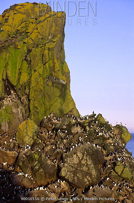 Guillemots and Razorbills on Harp Rock, Lunga, Treshnish Isles, Isle of Mull, Scotland, UK  -  Peter Lewis/ npl