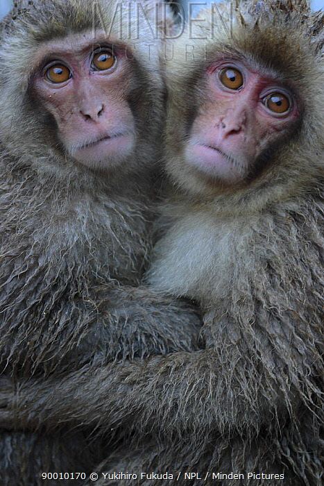 Japanese Macaque (Macaca fuscata) two one-year-old females embrace each other, Jigokudani, Nagano, Japan  -  Yukihiro Fukuda/ npl