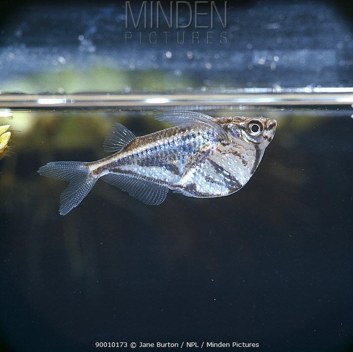 Marbled hatchetfish (Carnegiella strigata) resting at surface, captive, tropical  -  Jane Burton/ npl