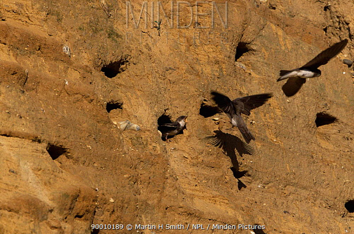 Sand Martin (Riparia riparia) feeding young at nest holes in sandbank, Norfolk, United Kingdom  -  Martin H Smith/ npl