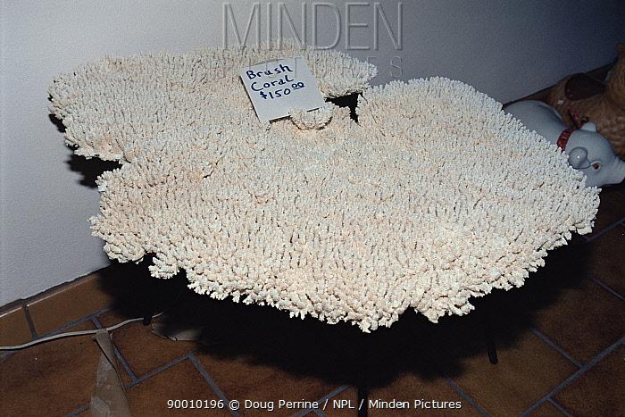 Brush coral for sale, Florida, USA  -  Doug Perrine/ npl